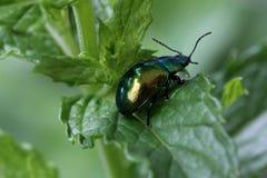 Verde e insecto del oro imágenes de archivo libres de regalías