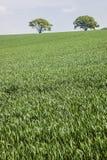 Verde e verde - alberi sopra il campo di erba, Inghilterra Fotografie Stock
