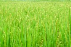 Verde ed azienda agricola del riso dell'oro per il raccolto Fotografia Stock Libera da Diritti