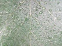 Verde, folha, fundo, chuva, videira, água, fresca, manhã, natureza, uva, cor, sumário, natural, planta, folhas, mola, blurre Fotografia de Stock