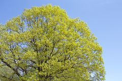 Verde fresco delle foglie della quercia Fotografia Stock Libera da Diritti