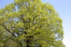 Verde fresco delle foglie della quercia Fotografia Stock