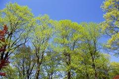 Verde fresco delle foglie verdi dell'albero di tulipano Immagini Stock