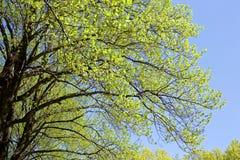 Verde fresco delle foglie verdi dell'albero di tulipano Fotografia Stock Libera da Diritti