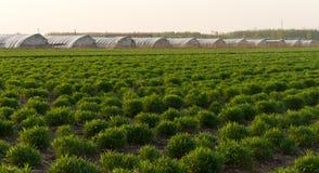 Verde fresco na agricultura da mola do campo Fotos de Stock