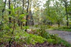 Verde fresco pouca árvore de abeto sob uma árvore grande gigantesca brilha dentro imagens de stock