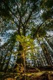 Verde fresco pouca árvore de abeto sob uma árvore grande gigantesca brilha dentro imagens de stock royalty free
