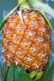 Verde giallo dell'ananas Fotografia Stock Libera da Diritti