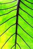 Verde grande da folha de Lotus Fotografia de Stock Royalty Free