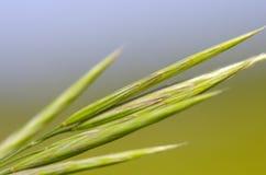 Verde hermoso, espiga Imagen de archivo libre de regalías