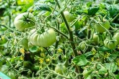 Verde inmaduro de la granja del tomate Fotografía de archivo