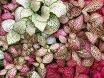 Verde intenso con i fiori rossi delle vene del fittonia esotico della pianta immagine stock