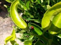 Verde macro de las hojas de los folhas del joaninha de la mariquita Imagen de archivo libre de regalías