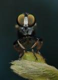 Verde majestuoso de la macro de la mosca de ladrón Fotografía de archivo