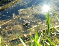 Verde manchado rana en el agua imagen de archivo