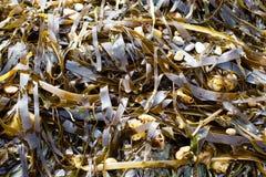 Verde marino dell'alimento dell'alga delle alghe del mare Immagine Stock Libera da Diritti