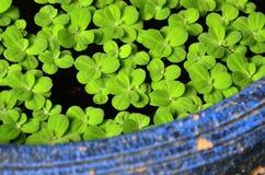 Verde na água preta Fotografia de Stock