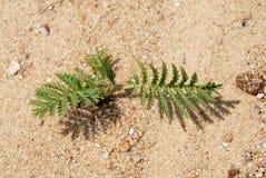 Verde na areia Imagem de Stock