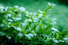 Verde natural con el foco selectivo Fotos de archivo libres de regalías