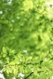 Verde naturale con le foglie della calce Fotografie Stock