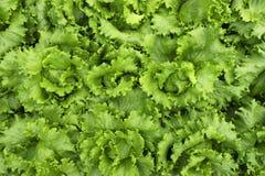 Verde organico dell'azienda agricola della piantagione della lattuga di agricoltura di verdure dell'alimento Fotografia Stock Libera da Diritti