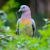 Verde-paloma Rosado-necked masculina Imagen de archivo