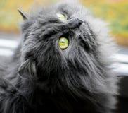 Verde peludo o gato persa Eyed Imagens de Stock Royalty Free