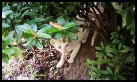 Verde pipping del arbusto del gato del gatito poco imagen de archivo