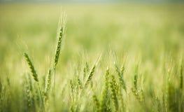 Verde, primavera, giacimento di grano con il fuoco selettivo molle Immagini Stock Libere da Diritti