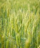 Verde, primavera, giacimento di grano con il fuoco selettivo molle Fotografia Stock Libera da Diritti