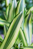 Verde rayado con las hojas blancas del dracaena Primavera, fondo, macro Fotografía de archivo