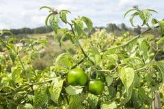 Verde redondo na planta - capsicum spp do Chile O Chile verde Imagens de Stock Royalty Free