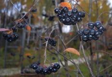 verde rojo natural r de la comida de las bayas de la fruta de la pasa de la baya de las hojas del serbal del otoño del follaje de Imagen de archivo