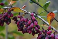 verde rojo natural r de la comida de las bayas de la fruta de la pasa de la baya de las hojas del serbal del otoño del follaje de Foto de archivo libre de regalías