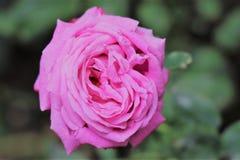 Verde rosa bianco della natura di rosa fotografia stock libera da diritti