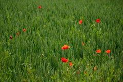 Verde rosso del frumento della segale dei papaveri Fotografia Stock