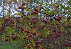 verde rosso naturale r dell'alimento delle bacche della frutta del ribes della bacca delle foglie della sorba di autunno del fogl Immagini Stock Libere da Diritti