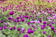 Verde roxo do fundo do amaranto, roxo Fotografia de Stock