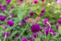 Verde roxo do fundo do amaranto, roxo Fotos de Stock Royalty Free