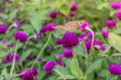 Verde roxo do fundo do amaranto, roxo Imagens de Stock Royalty Free