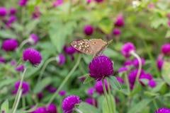 Verde roxo do fundo do amaranto, roxo Imagens de Stock