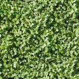 Verde senza cuciture di struttura dell'erba fotografia stock libera da diritti