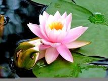 Verde solitário da água da almofada de Lilly do rosa da flor de lótus imagem de stock royalty free