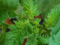 Verde springplant de Tomazo Imagens de Stock