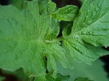 Verde springplant de Tomazo fotos de stock royalty free