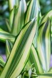 Verde a strisce con le foglie bianche della dracaena Primavera, fondo, macro Fotografia Stock