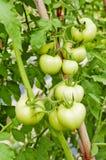 Verde-tomates Fotos de archivo libres de regalías