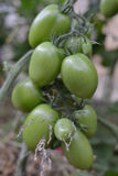 ` Verde verde s do tomate que pendura em uma planta de tomate no jardim, foco seletivo Imagem de Stock