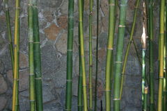 verde vicino del bambù in su immagine stock