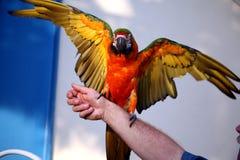 Verde y macaw del oro Imágenes de archivo libres de regalías